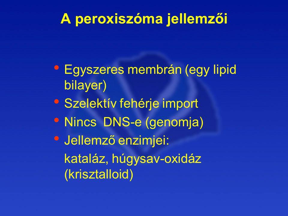 A peroxiszóma jellemzői Egyszeres membrán (egy lipid bilayer) Szelektív fehérje import Nincs DNS-e (genomja) Jellemző enzimjei: kataláz, húgysav-oxidáz (krisztalloid)