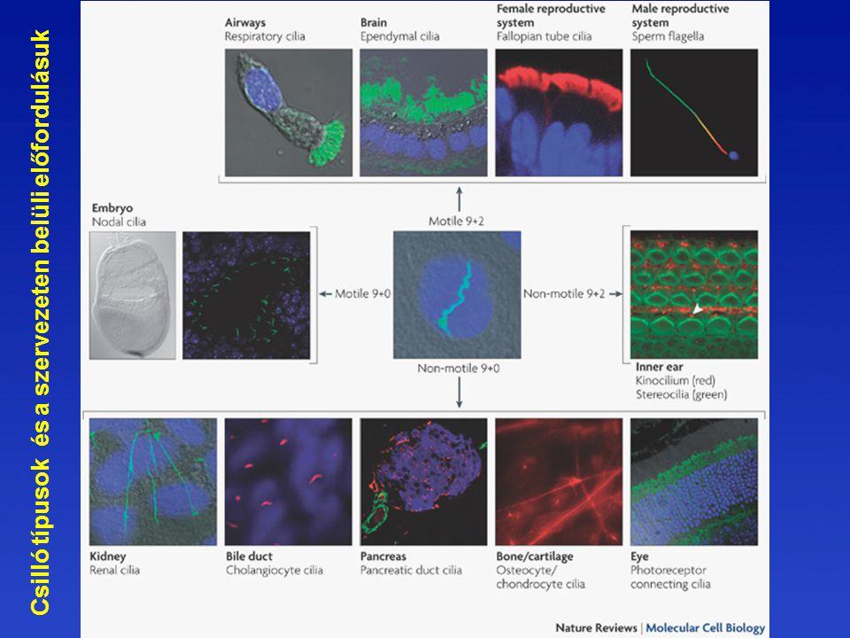 Csilló típusok és a szervezeten belüli előfordulásuk