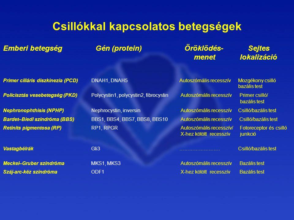 Emberi betegség Gén (protein) Öröklődés- Sejtes menet lokalizáció Primer ciliáris diszkinezia (PCD)DNAH1, DNAH5Autoszómális recesszívMozgékony csilló bazális test Policisztás vesebetegség (PKD)Polycystin1, polycystin2, fibrocystin Autoszómális recesszív Primer csilló/ bazális test Nephronophthisis (NPHP)Nephrocystin, inversin Autoszómális recesszív Csilló/bazális test Bardet–Biedl szindróma (BBS)BBS1, BBS4, BBS7, BBS8, BBS10 Autoszómális recesszív Csilló/bazális test Retinits pigmentosa (RP)RP1, RPGR Autoszómális recesszív/ Fotoreceptor és csilló X-hez kötött recesszív junkció VastagbélrákGli3…………………….Csilló/bazális test Meckel–Gruber szindróma MKS1, MKS3 Autoszómális recesszív Bazális test Száj-arc-kéz szindróma ODF1 X-hez kötött recesszív Bazális test Csillókkal kapcsolatos betegségek