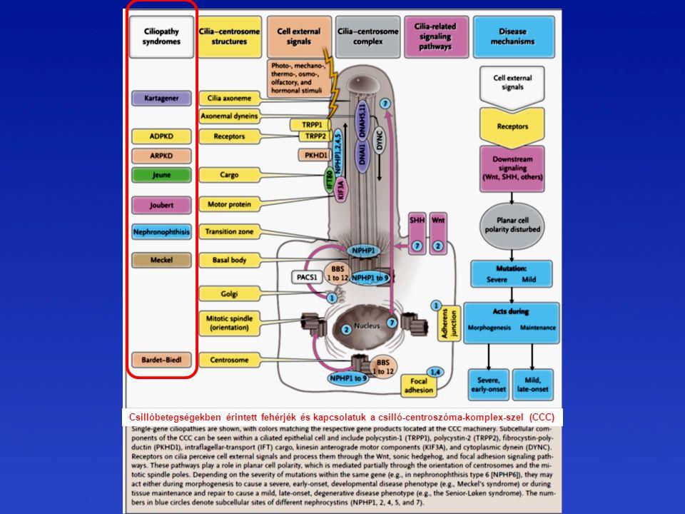 Csillóbetegségekben érintett fehérjék és kapcsolatuk a csilló-centroszóma-komplex-szel (CCC)