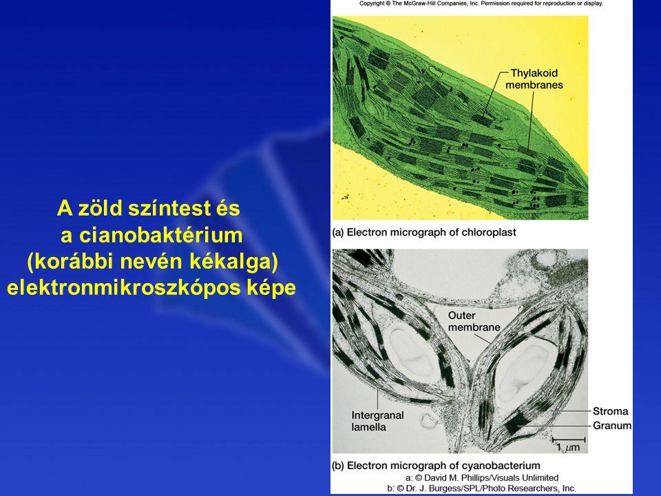 A zöld színtest és a cianobaktérium (korábbi nevén kékalga) elektronmikroszkópos képe