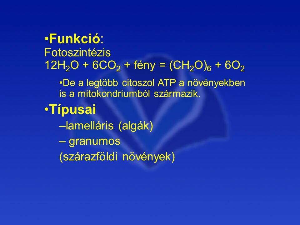Funkció: Fotoszintézis 12H 2 O + 6CO 2 + fény = (CH 2 O) 6 + 6O 2 De a legtöbb citoszol ATP a növényekben is a mitokondriumból származik.