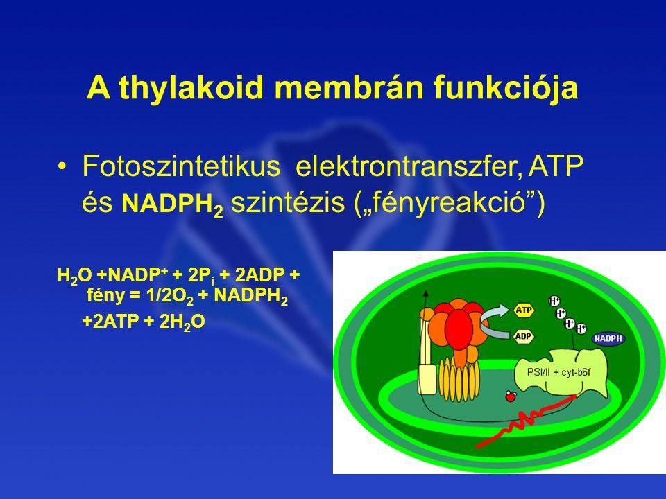 """A thylakoid membrán funkciója Fotoszintetikus elektrontranszfer, ATP és NADPH 2 szintézis (""""fényreakció ) H 2 O +NADP + + 2P i + 2ADP + fény = 1/2O 2 + NADPH 2 +2ATP + 2H 2 O"""