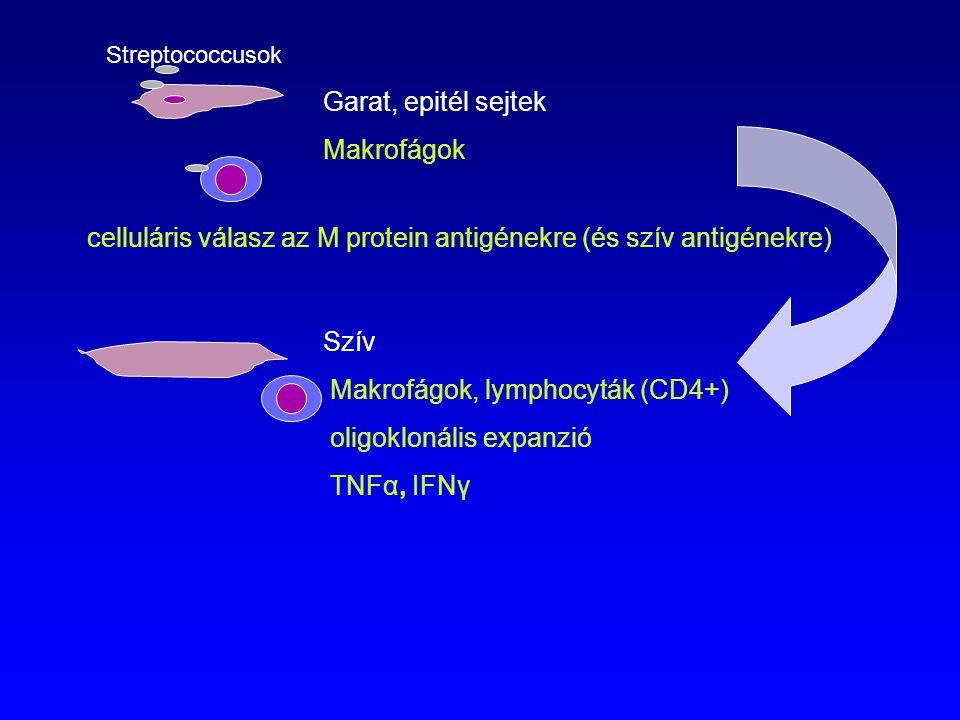 Garat, epitél sejtek Makrofágok Szív Makrofágok, lymphocyták (CD4+) oligoklonális expanzió TNFα, IFNγ Streptococcusok celluláris válasz az M protein a