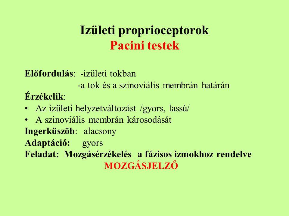 Izületi proprioceptorok Pacini testek Előfordulás: -izületi tokban -a tok és a szinoviális membrán határán Érzékelik: Az izületi helyzetváltozást /gyors, lassú/ A szinoviális membrán károsodását Ingerküszöb: alacsony Adaptáció: gyors Feladat: Mozgásérzékelés a fázisos izmokhoz rendelve MOZGÁSJELZŐ