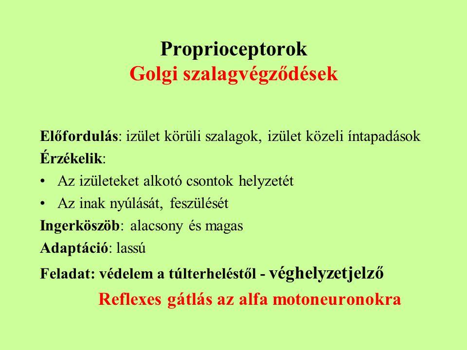 Proprioceptorok Golgi szalagvégződések Előfordulás: izület körüli szalagok, izület közeli íntapadások Érzékelik: Az izületeket alkotó csontok helyzetét Az inak nyúlását, feszülését Ingerköszöb: alacsony és magas Adaptáció: lassú Feladat: védelem a túlterheléstől - véghelyzetjelző Reflexes gátlás az alfa motoneuronokra