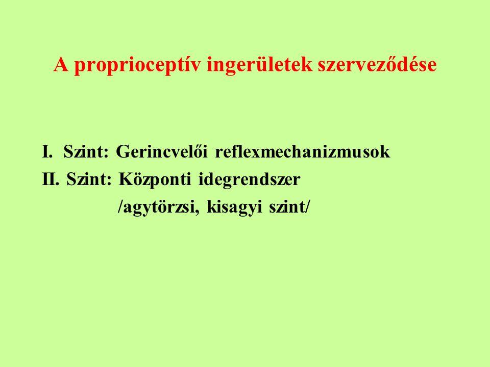 A proprioceptív ingerületek szerveződése I.Szint: Gerincvelői reflexmechanizmusok II.