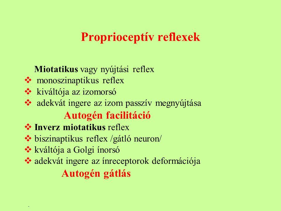Proprioceptív reflexek Miotatikus vagy nyújtási reflex  monoszinaptikus reflex  kiváltója az izomorsó  adekvát ingere az izom passzív megnyújtása Autogén facilitáció  Inverz miotatikus reflex  biszinaptikus reflex /gátló neuron/  kváltója a Golgi ínorsó  adekvát ingere az ínreceptorok deformációja Autogén gátlás -