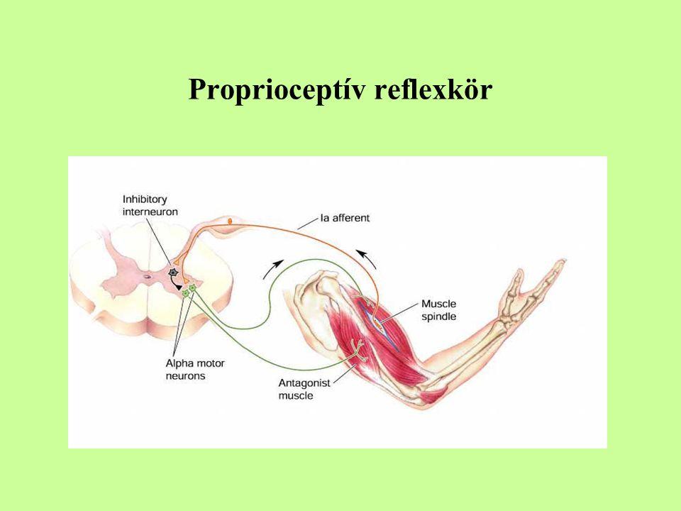 Proprioceptív reflexkör