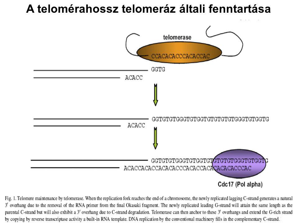 A telomérahossz telomeráz általi fenntartása