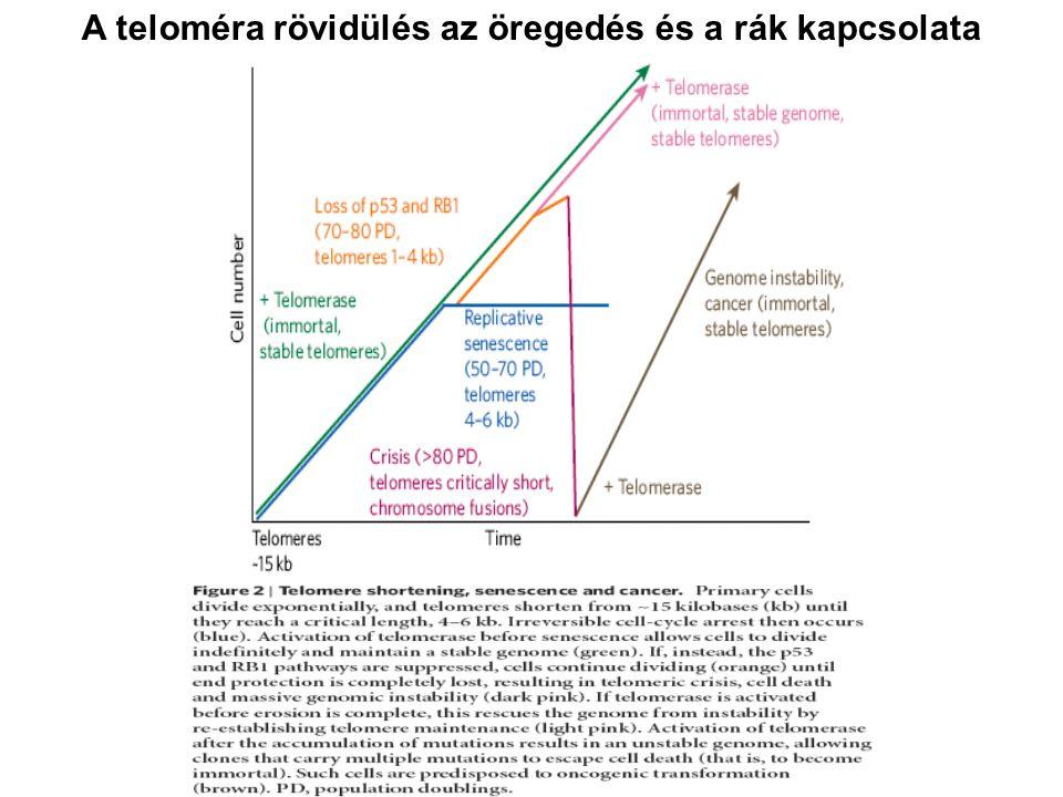 A teloméra rövidülés az öregedés és a rák kapcsolata
