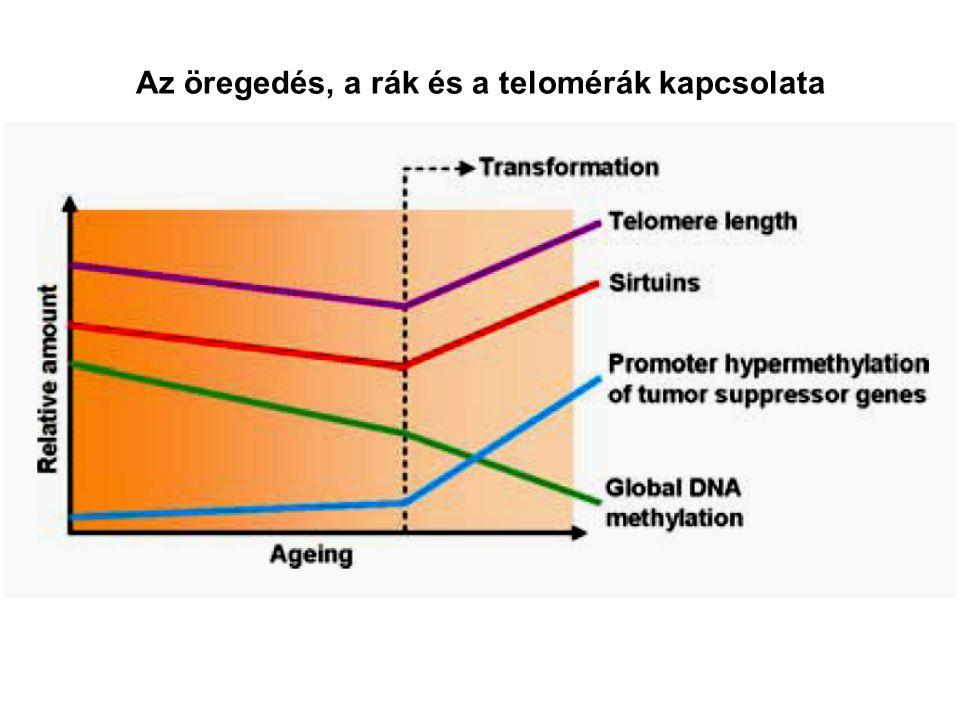 Az öregedés, a rák és a telomérák kapcsolata
