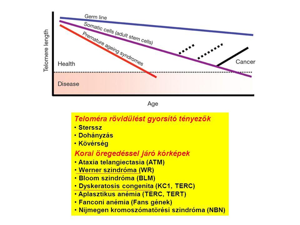 Teloméra rövidülést gyorsító tényezők Sterssz Dohányzás Kövérség Korai öregedéssel járó kórképek Ataxia telangiectasia (ATM) Werner szindróma (WR) Blo