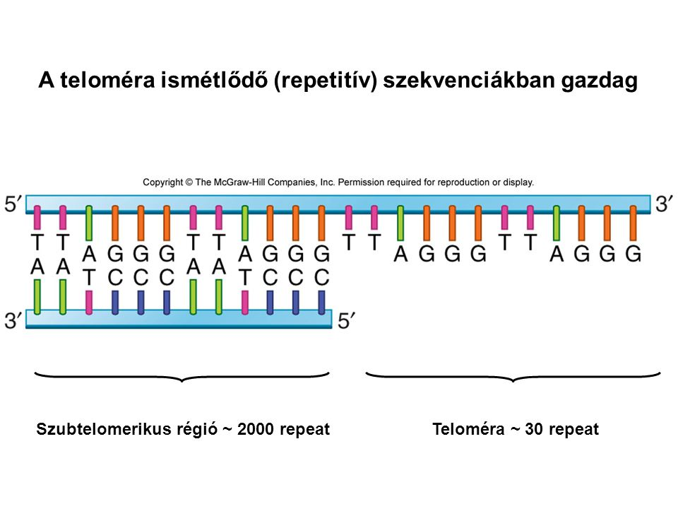 A teloméra ismétlődő (repetitív) szekvenciákban gazdag Teloméra ~ 30 repeatSzubtelomerikus régió ~ 2000 repeat