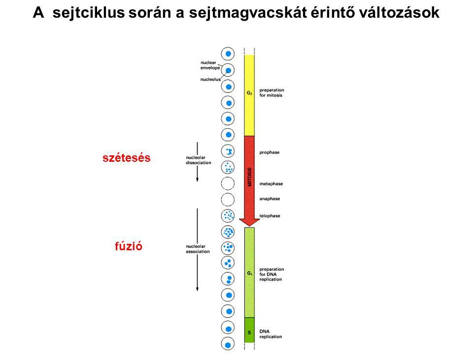 A sejtciklus során a sejtmagvacskát érintő változások szétesés fúzió