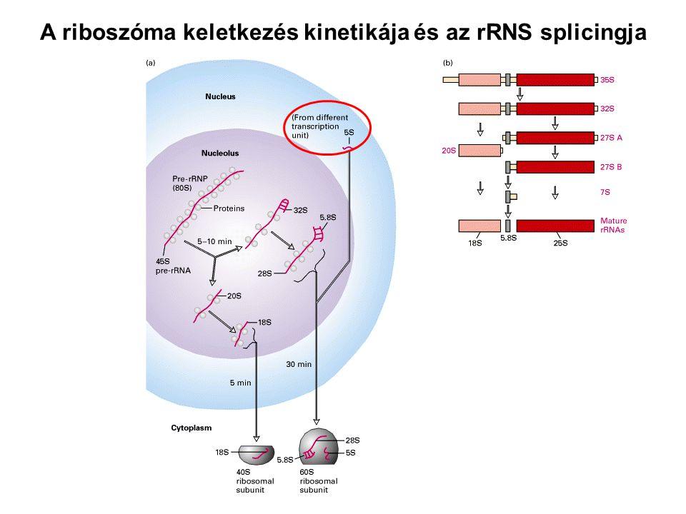 A riboszóma keletkezés kinetikája és az rRNS splicingja