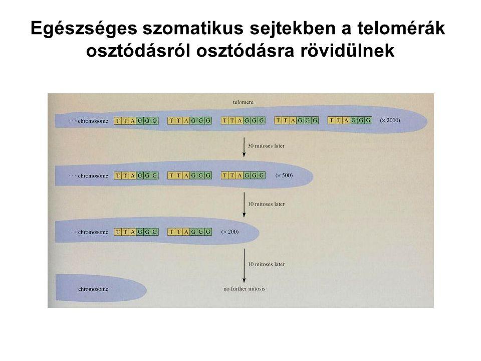 Egészséges szomatikus sejtekben a telomérák osztódásról osztódásra rövidülnek