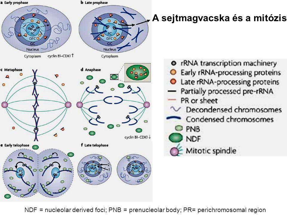 NDF = nucleolar derived foci; PNB = prenucleolar body; PR= perichromosomal region A sejtmagvacska és a mitózis