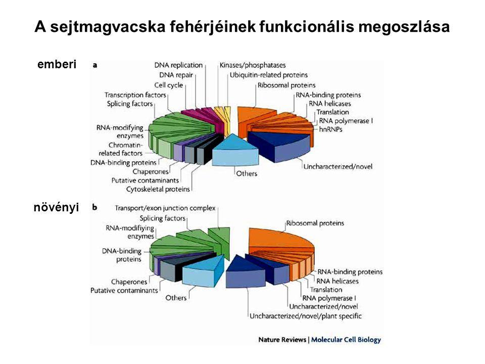 A sejtmagvacska fehérjéinek funkcionális megoszlása emberi növényi