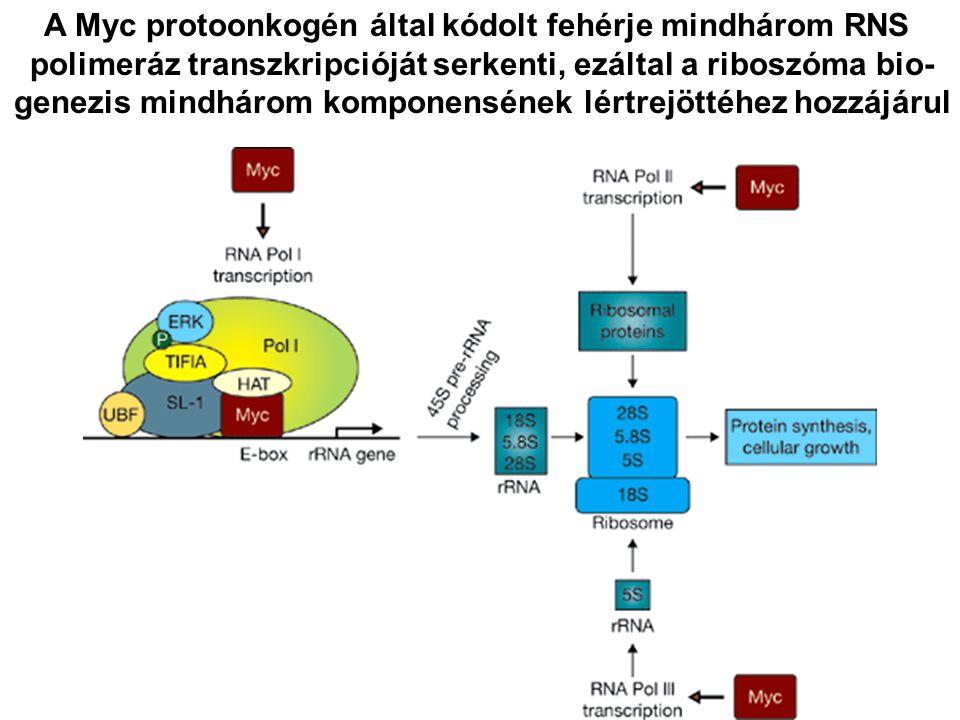 A Myc protoonkogén által kódolt fehérje mindhárom RNS polimeráz transzkripcióját serkenti, ezáltal a riboszóma bio- genezis mindhárom komponensének lé