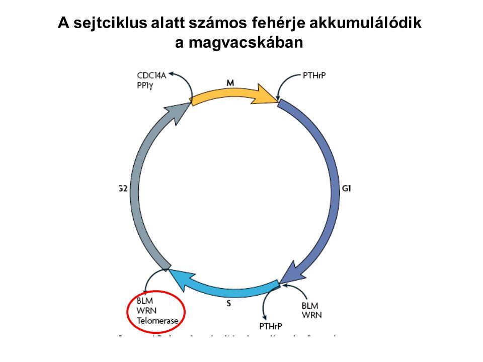 A sejtciklus alatt számos fehérje akkumulálódik a magvacskában