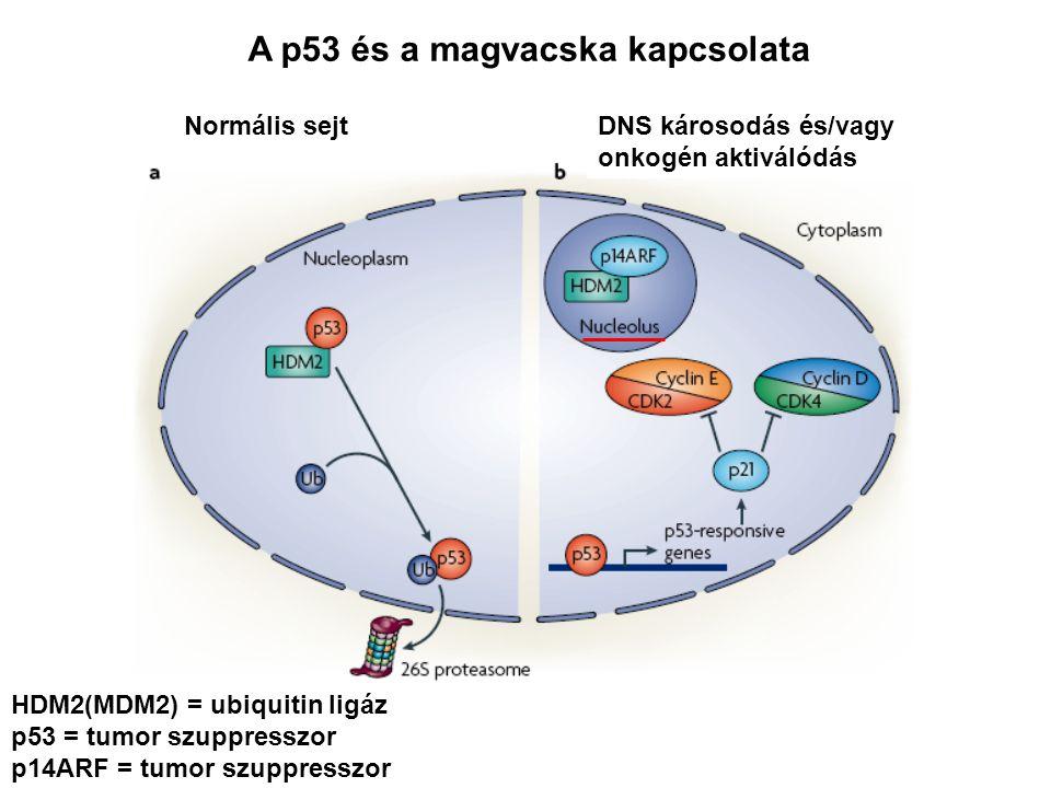 HDM2(MDM2) = ubiquitin ligáz p53 = tumor szuppresszor p14ARF = tumor szuppresszor Normális sejtDNS károsodás és/vagy onkogén aktiválódás A p53 és a ma