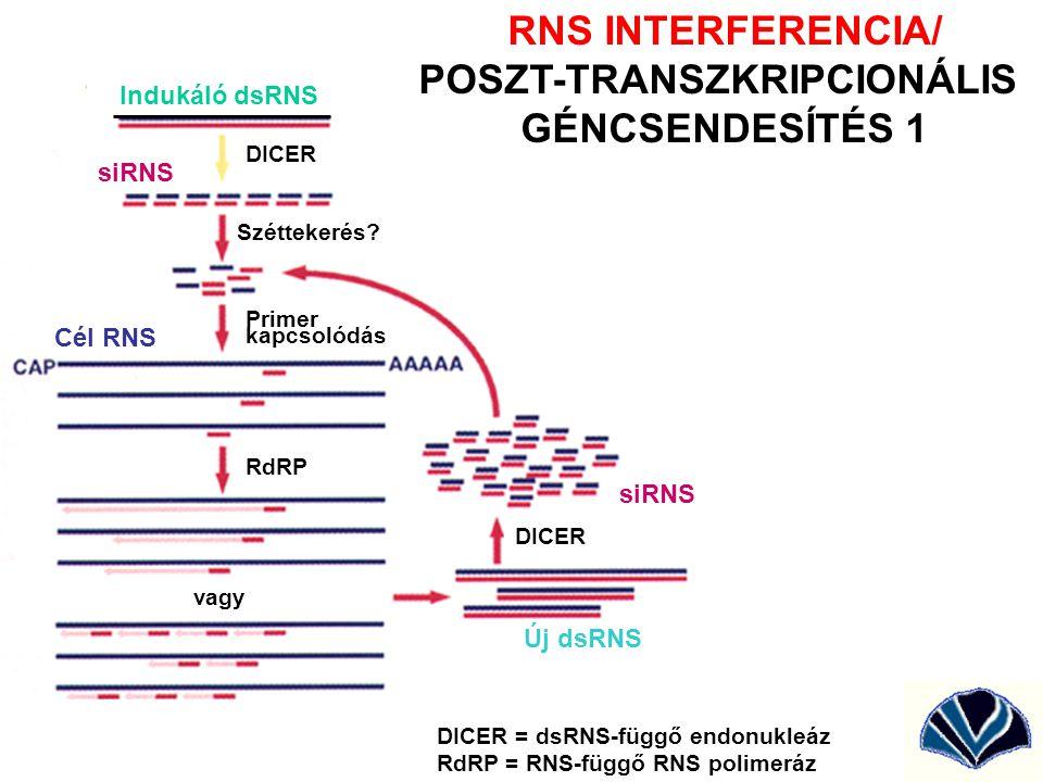 Indukáló dsRNS Új dsRNS Cél RNS vagy Széttekerés? siRNS DICER = dsRNS-függő endonukleáz RdRP = RNS-függő RNS polimeráz DICER RdRP Primer kapcsolódás R
