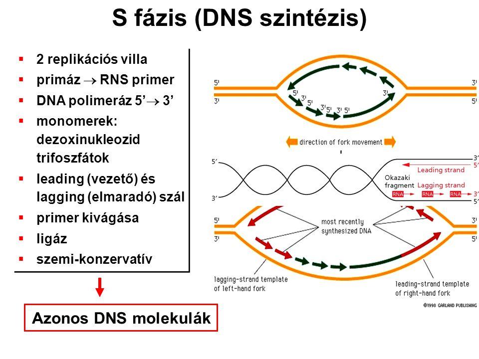S fázis (DNS szintézis)  2 replikációs villa  primáz  RNS primer  DNA polimeráz 5'  3'  monomerek: dezoxinukleozid trifoszfátok  leading (vezet