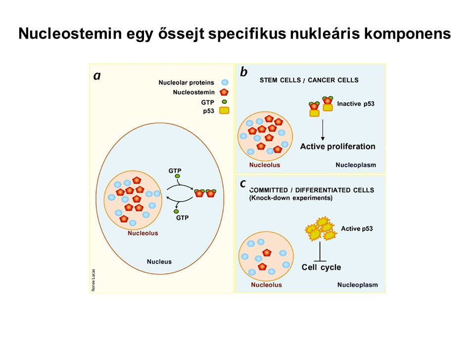 Nucleostemin egy őssejt specifikus nukleáris komponens
