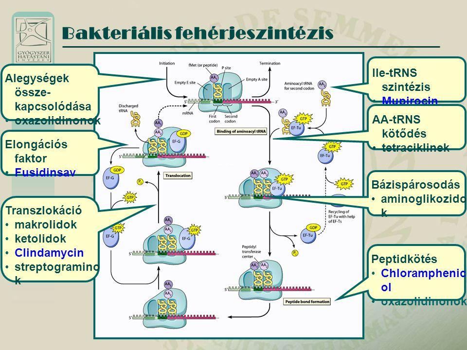 Aminoglikozidok Hatásmechanizmus Aktív transzport a baktériumba az elektron- transzportlánc segítségével Polikationok – károsítják a Gram negatívak külső membránját, a Gram pozitívak sejtfalán nehezen penetrálnak Kötődés a 30 S alegységhez – misreading, majd az iniciációs komplex és a poliszóma képződés gátlása Irreverzibilis riboszóma károsodás Gyors koncentrációfüggő baktericid hatás Hosszú posztantibiotikus hatás (12-20 óra) A non-sense fehérjék membránpórusokat képeznek – membránkárosodás, lízis – fokozott penetráció