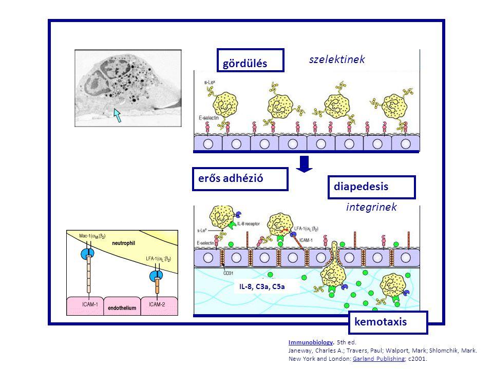 gördülés erős adhézió diapedesis kemotaxis szelektinek integrinek IL-8, C3a, C5a ImmunobiologyImmunobiology. 5th ed. Janeway, Charles A.; Travers, Pau