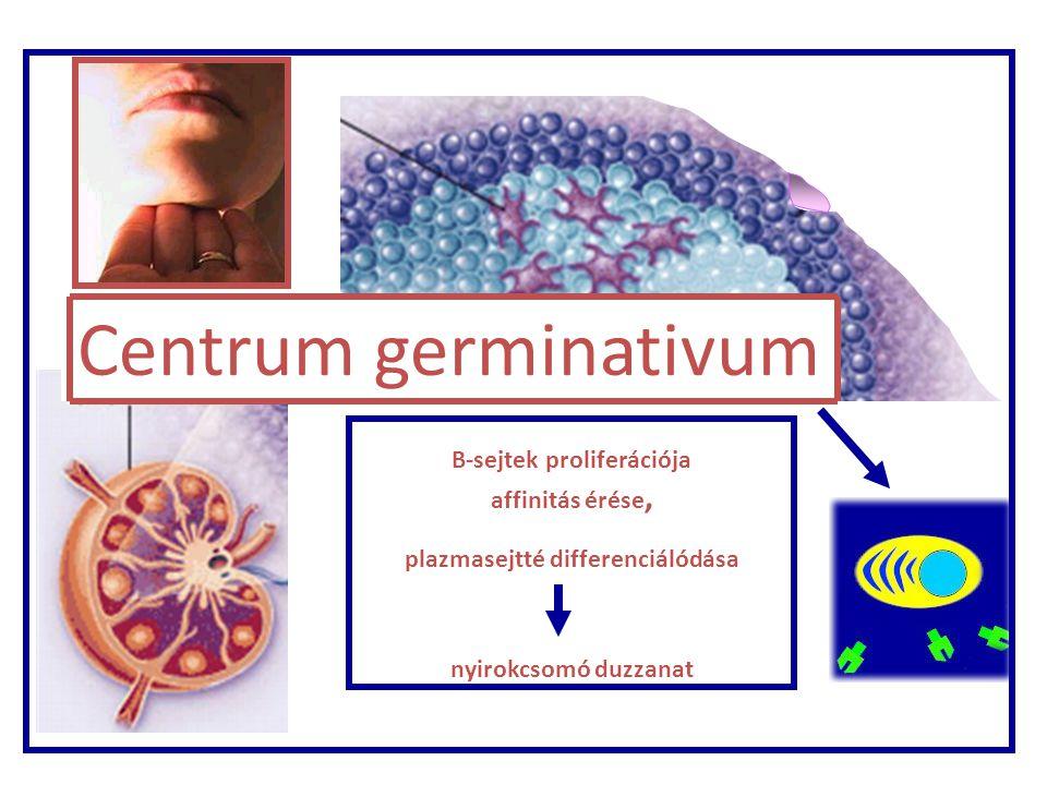 B sejtek proliferá- ciója Nyirokcsom ó Centrum germinativum B-sejtek proliferációja affinitás érése, plazmasejtté differenciálódása nyirokcsomó duzzan