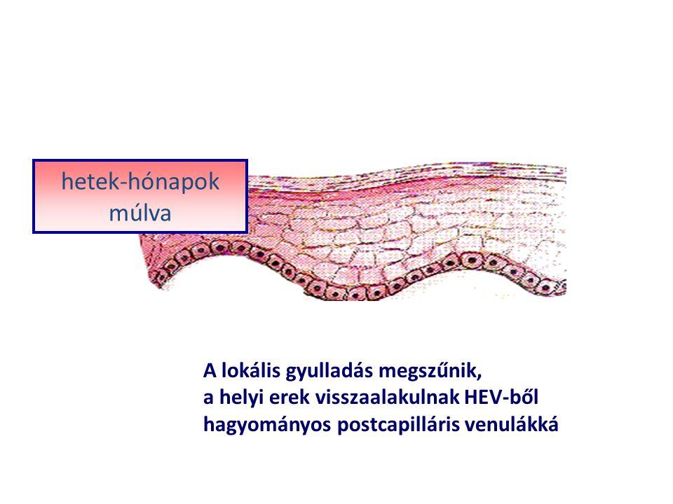 A lokális gyulladás megszűnik, a helyi erek visszaalakulnak HEV-ből hagyományos postcapilláris venulákká hetek-hónapok múlva
