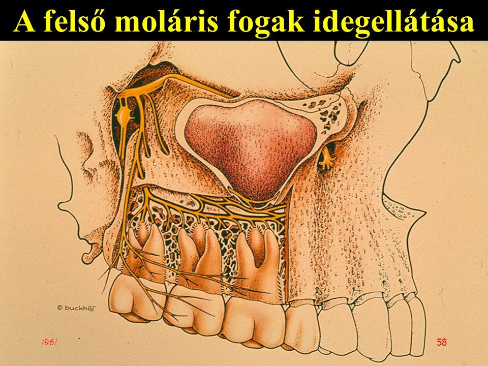A felső moláris fogak idegellátása /96/ 58