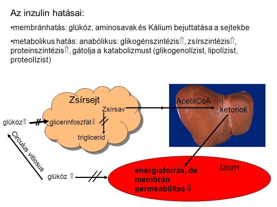 Az inzulin hatásai: membránhatás: glükóz, aminosavak és Kálium bejuttatása a sejtekbe metabolikus hatás: anabólikus: glikogénszintézis , zsírszintézi