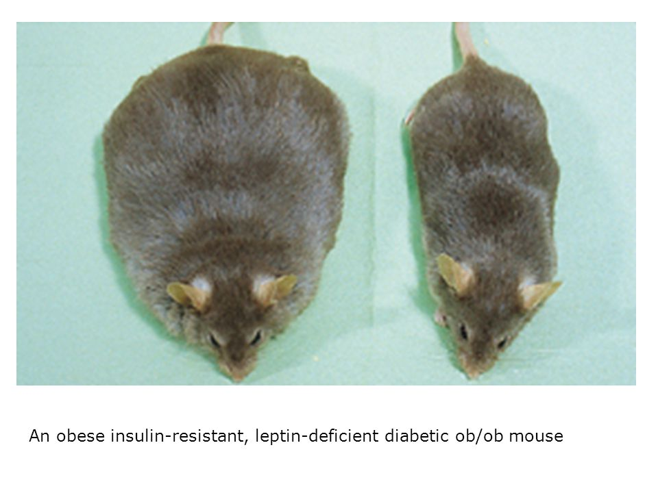 An obese insulin-resistant, leptin-deficient diabetic ob/ob mouse