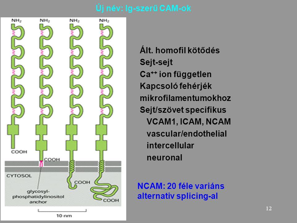 12 Új név: Ig-szerű CAM-ok Ált. homofil kötődés Sejt-sejt Ca ++ ion független Kapcsoló fehérjék mikrofilamentumokhoz Sejt/szövet specifikus VCAM1, ICA