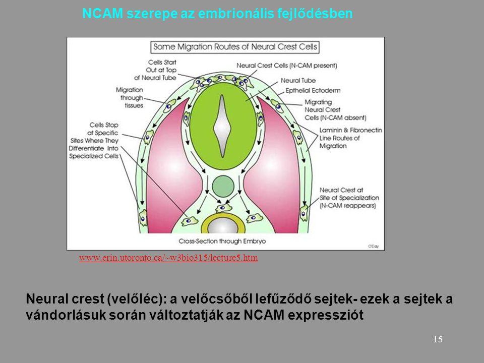 15 Neural crest (velőléc): a velőcsőből lefűződő sejtek- ezek a sejtek a vándorlásuk során változtatják az NCAM expressziót NCAM szerepe az embrionáli