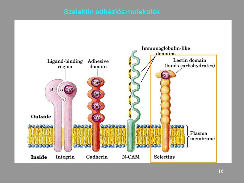 16 Szelektin adhéziós molekulák