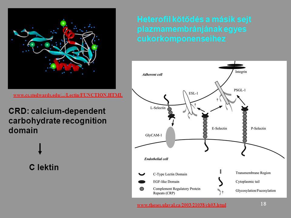 18 www.cs.stedwards.edu/.../Lectin/FUNCTION.HTML CRD: calcium-dependent carbohydrate recognition domain C lektin Heterofil kötődés a másik sejt plazma