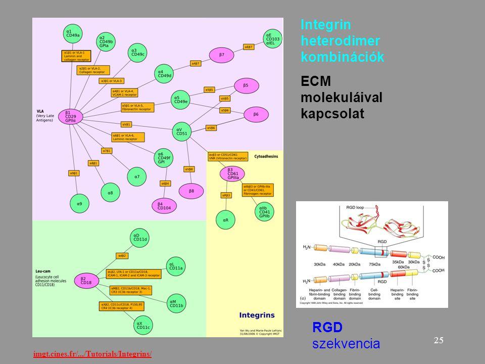 25 imgt.cines.fr/.../Tutorials/Integrins/ Integrin heterodimer kombinációk ECM molekuláival kapcsolat RGD szekvencia