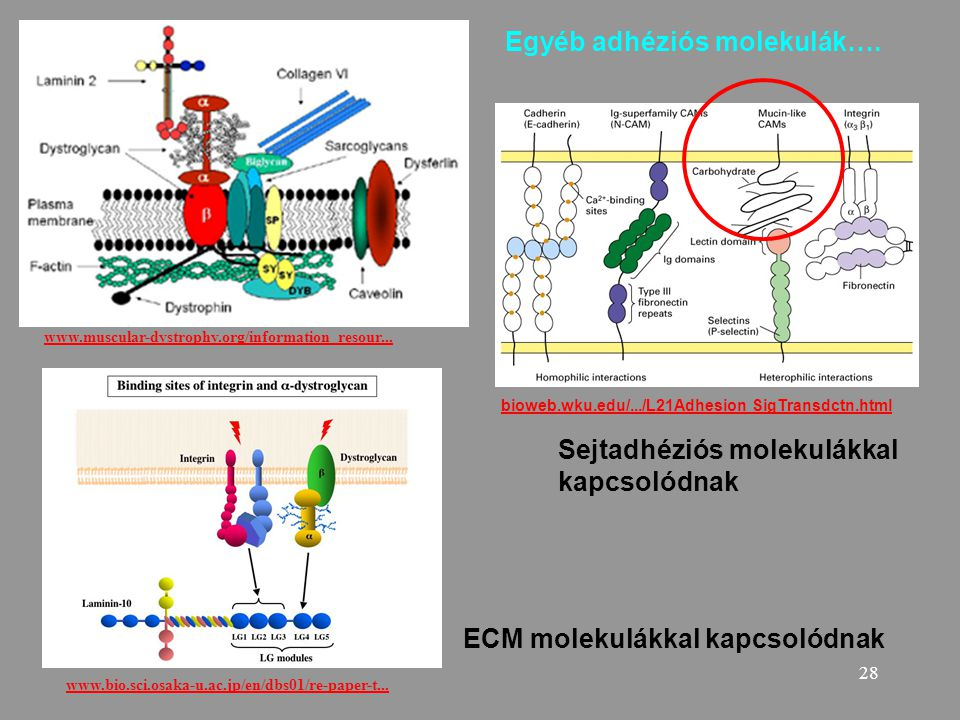28 www.bio.sci.osaka-u.ac.jp/en/dbs01/re-paper-t... www.muscular-dystrophy.org/information_resour... Egyéb adhéziós molekulák…. ECM molekulákkal kapcs