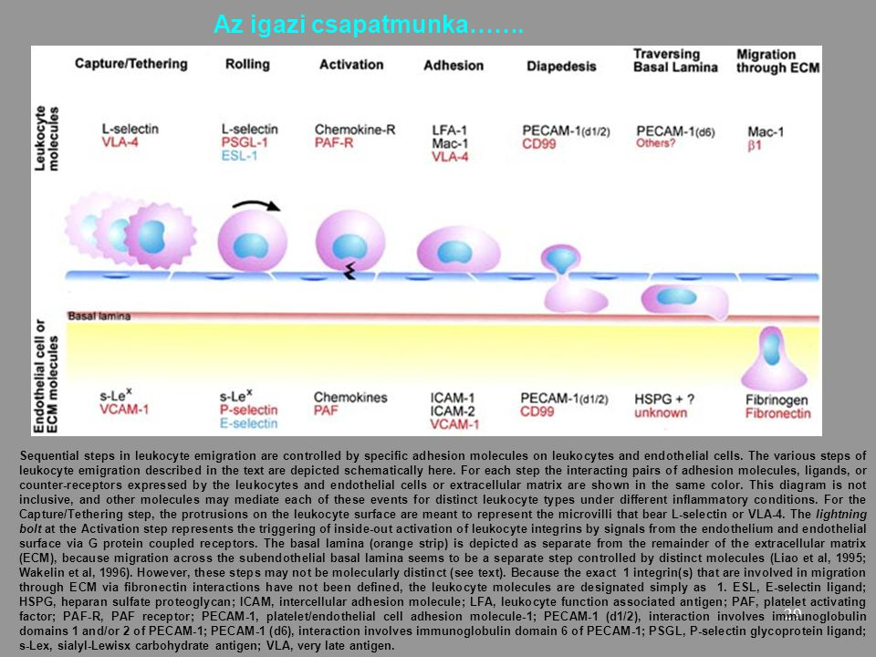 29 Sequential steps in leukocyte emigration are controlled by specific adhesion molecules on leukocytes and endothelial cells. The various steps of le