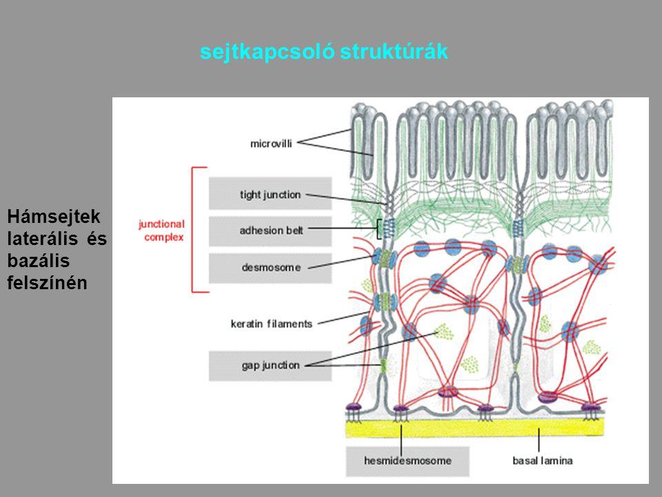 33 sejtkapcsoló struktúrák Hámsejtek laterális és bazális felszínén