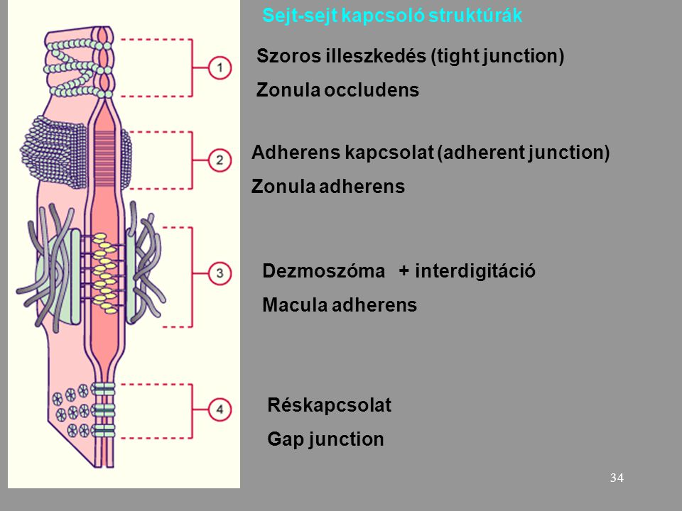 34 Szoros illeszkedés (tight junction) Zonula occludens Adherens kapcsolat (adherent junction) Zonula adherens Dezmoszóma + interdigitáció Macula adhe