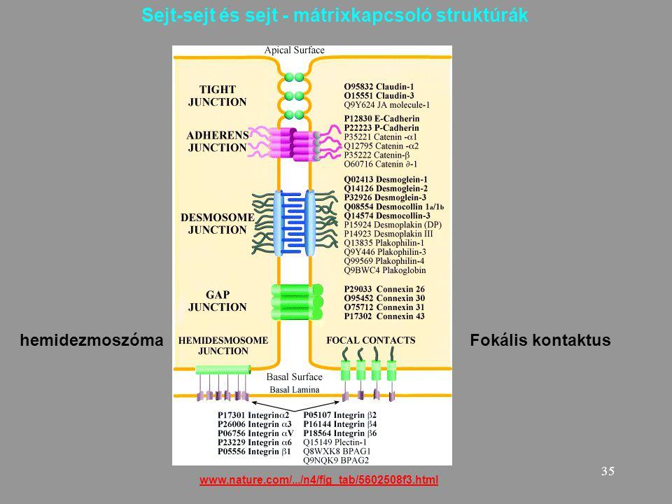35 www.nature.com/.../n4/fig_tab/5602508f3.html Sejt-sejt és sejt - mátrixkapcsoló struktúrák hemidezmoszómaFokális kontaktus