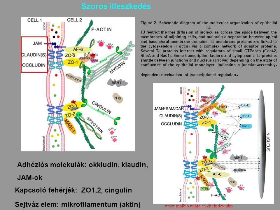36 Adhéziós molekulák: okkludin, klaudin, JAM-ok Kapcsoló fehérjék: ZO1,2, cingulin Sejtváz elem: mikrofilamentum (aktin) Szoros illeszkedés Figure 2.