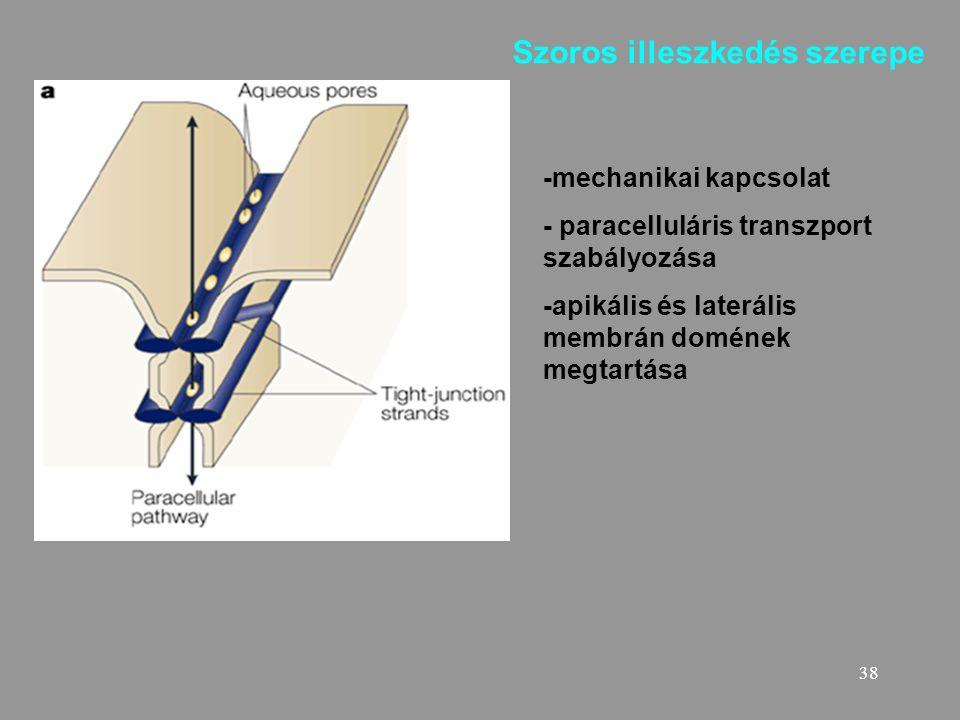 38 -mechanikai kapcsolat - paracelluláris transzport szabályozása -apikális és laterális membrán domének megtartása Szoros illeszkedés szerepe