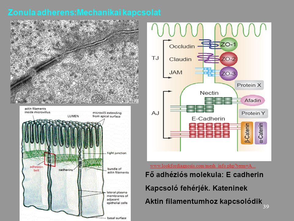 39 Zonula adherens:Mechanikai kapcsolat Fő adhéziós molekula: E cadherin Kapcsoló fehérjék. Kateninek Aktin filamentumhoz kapcsolódik www.lookfordiagn