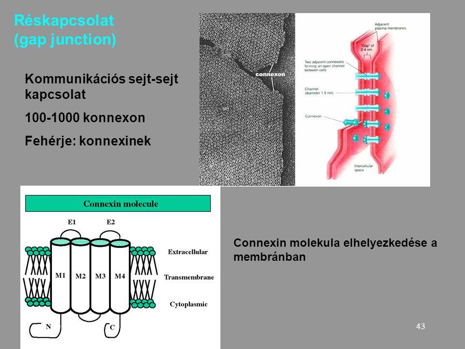 43 Réskapcsolat (gap junction) Kommunikációs sejt-sejt kapcsolat 100-1000 konnexon Fehérje: konnexinek Connexin molekula elhelyezkedése a membránban